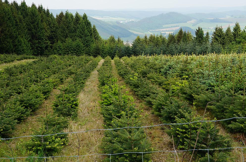 Weihnachstbaumkultur